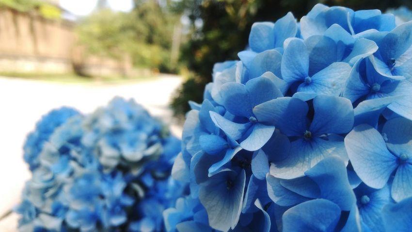 Blue Nature Natural Beauty Natures Beauty EyeEm Best Shots EyeEm Selects Light Flower Head Flower Blue Water Close-up Plant Blooming Hydrangea Hyacinth Pollen In Bloom Petal Plant Life Stamen Crocus Hibiscus