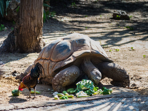 A large earthen turtle eats vegetables scattered on the ground Nature Ape Business Eating Grass National Park Ramat Gan - Tel Aviv Travel View Zoo Adaptation Animal Themes Attraction Biology Day Environment Israel Mammal Nature Population Predator Reserve Safari Tourism Wildlife