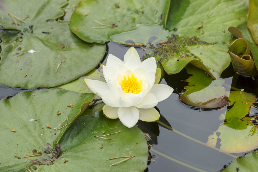 Beautiful white lotus flower on a lake Beauty In Nature Close-up Floating On Water Flower Flower Head Flowering Plant Fragility Freshness Growth Lotus Water Lily Nature No People Plant Water Water Lily