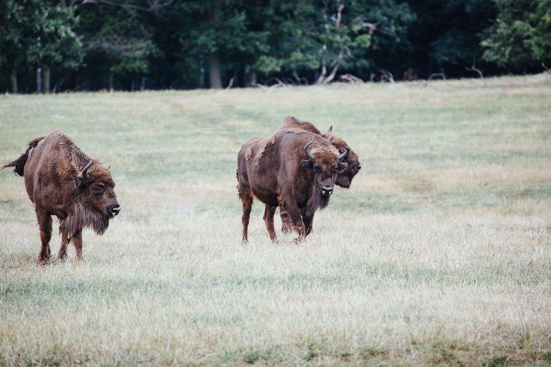 American bison walking on grassy field