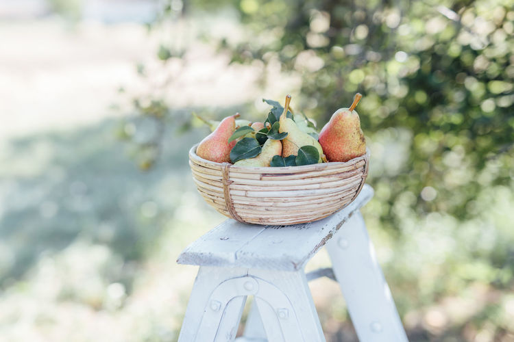 Healthy Eating Food And Drink Freshness Food Basket Focus On Foreground Fruit Wellbeing Day Container No People Nature Close-up Plant Outdoors Still Life Front Or Back Yard Wood - Material Harvesting Pear Pear Tree  Harvesting Time Summer Summer Time