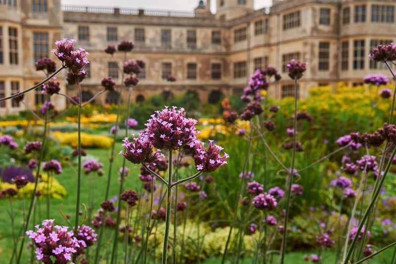 Close-up of pink flowering plants in front of historic building