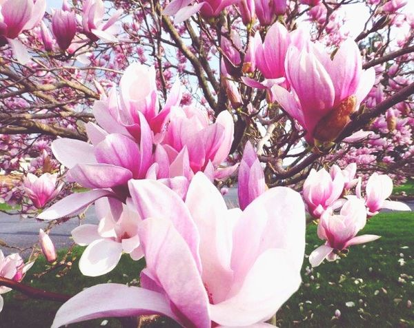 Magnolia_Blossom Magnolia Tree Magnolia Trees Flowering Tree Spring Into Spring Blooming