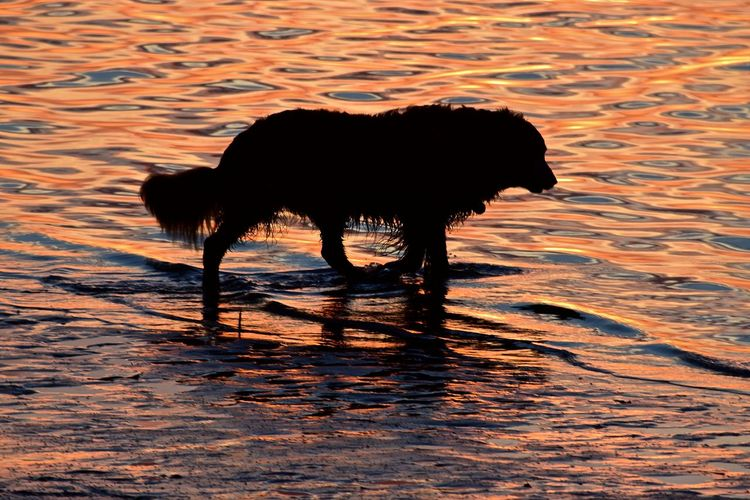 Sunset at Crystal Beach, FL Afterburn Beauty In Nature Crystal Beach, FL Florida Florida Life Florida Sunset Nature No People Outdoors Sunset Sunset Silhouettes Water Dog Wet Dog Senior Dog Pet Portraits Paint The Town Yellow