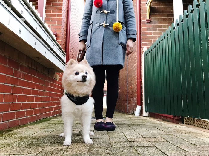 Low section of woman with dog walking on pavement