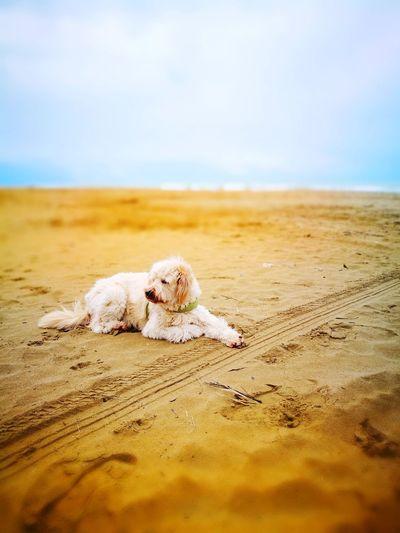 EyeEm Selects Sand Dune Pets Sea Beach Water Sand Dog Lying Down Sky