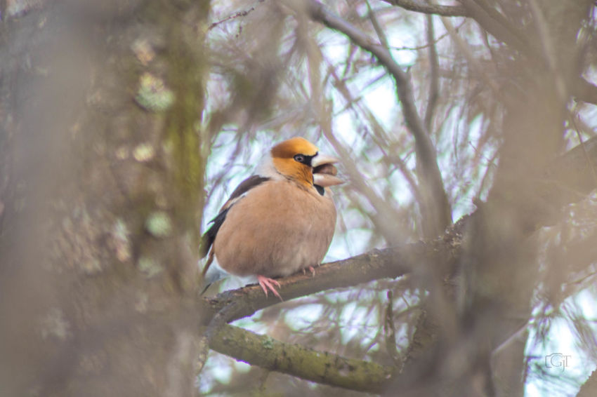 Hawfinch (Coccothraustes coccothraustes) Animal Wildlife Bird Animals In The Wild One Animal Animal Themes Vertebrate Animal Tree Perching Plant Branch Day Nature No People Selective Focus Outdoors Robin Low Angle View Beauty In Nature Focus On Foreground