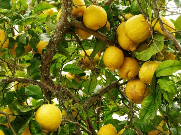 ...and all that I can see, is just a yellow lemontree 🍋🍋🍋 EyeEm Gallery EyeEm Nature Lover Naturelovers Beauty In Nature Yellow Color Lemons Lemontree Lemon Fruit Tree Citrus Fruit Yellow Freshness No People Green Color Agriculture Nature Outdoors