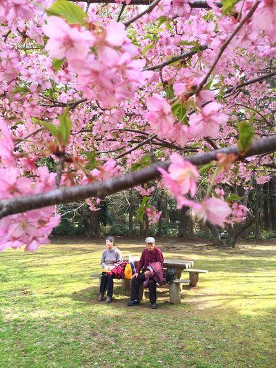 Sakura Season Enjoying Life Japanese People Early Bloom