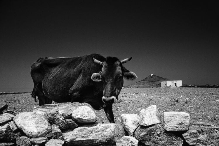 Cow standing by rocks on field against clear sky
