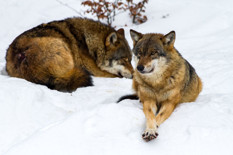 Wolves resting on snow covered field