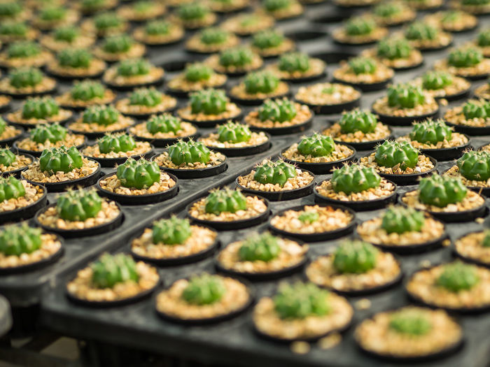 Close-Up Of Succulent Plants In Seedling Tray