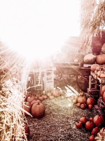Oktoberfest, Halloween, Thanksgiving, Seasons changing, Sunset, large group of pumpkins Food And Drink Freshness Day Vegetable Sunbeam Lens Flare Retail  Outdoors Abundance Large Group Of Objects Stone Arrangement No People wagon wheel scarecrow Beauty In Nature Extreme Close Up Full Frame Orange Color Sunny bright Rooftop Cloud Sky Sunlight Selective Focus