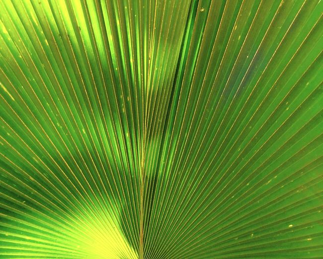 Abstract green palm frond background. Green Color Nature Backgrounds Close-up No People Frond Leaf Freshness Palm Tree Outdoors Day Dramatic Lighting Natural Design Nature_collection Nature On Your Doorstep Uneven Imbalance Sunlit Growth EyeEm Nature Lover Eye4photography  Macro Nature Nature Textures Botany