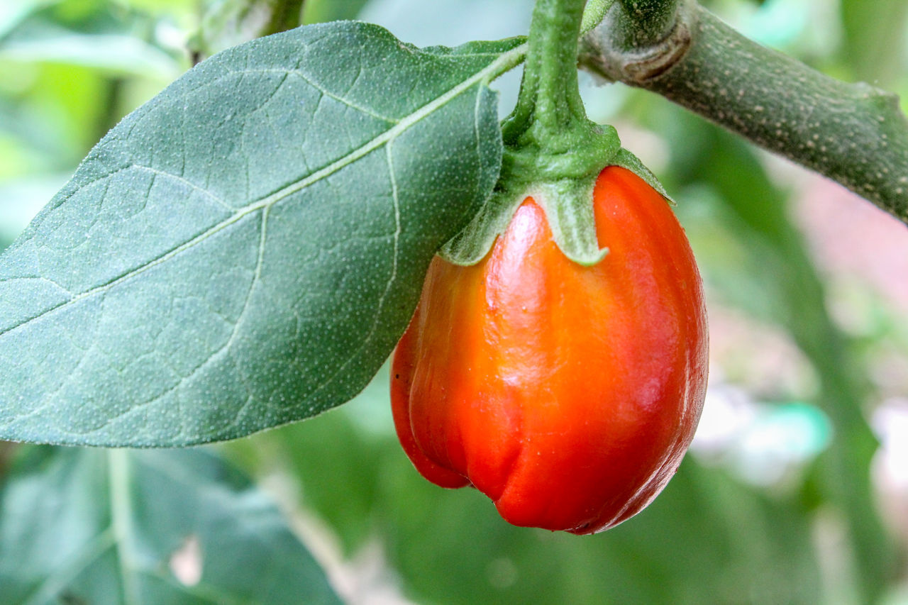 CLOSE-UP OF RED FRUIT