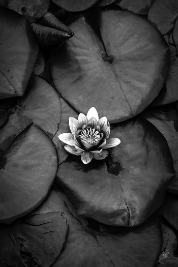 #lotus #lotusflow Beauty In Nature Flower Flower Head Fragility Growth Leaf Nature Petal
