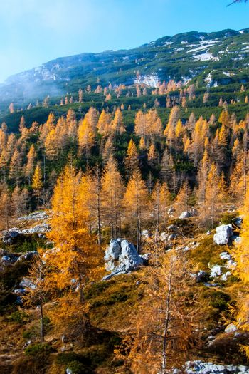 Autumn in mountains Slovenia Autumn Beauty In Nature Bohinj Day Landscape Larch Mountain Nature No People Outdoors Scenics Sky Sunlit Tree Yellow