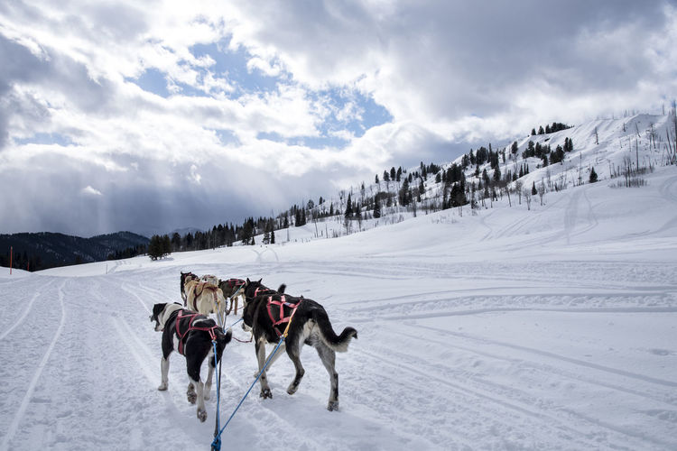 Rear view of dogs on snow