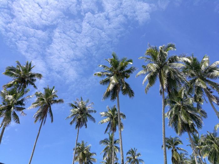 Sky above Kuala Terengganu, Terengganu, Malaysia now (7th December 2016, 12:42 PM). Blue Pinaceae Low Angle View Tree Nature Growth Sky Beauty In Nature No People Outdoors Palm Tree Day Weather Treetop Beauty In Nature Palm Tree