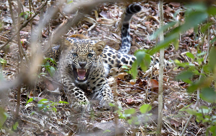 The real encounter in jungle Blue Mystery Leapord LeapOfFaith Cat Bigcats Canon5dmarkiii Photooftheday Natgeo Tranquility Space Nature Photooftheweek Natgeowild Zoom Jungle Animalplanet Animal Planet Animal Photography Animals Animal Themes Natural Pattern Eye