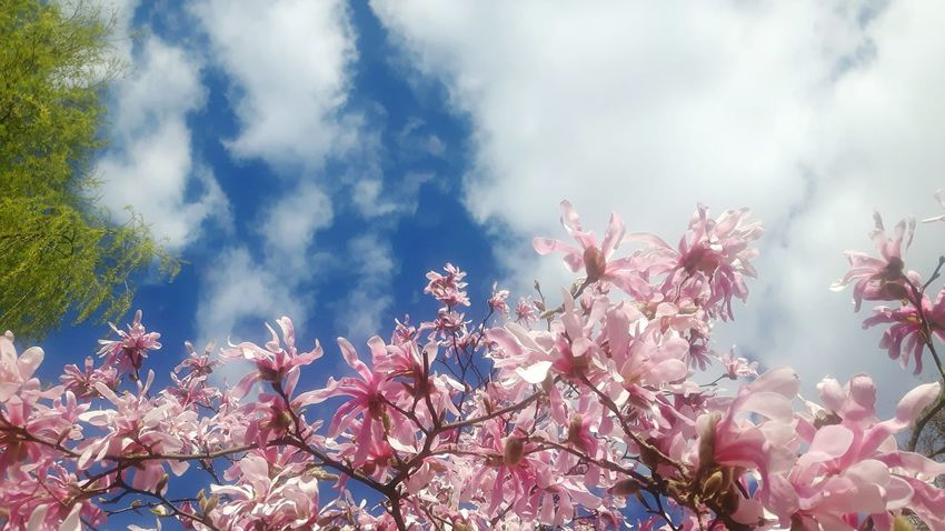 Tree Nature Beauty In Nature Springtime Plant No People Pink Color Outdoors Sky Branch Scenics Flower Day Close-up Freshness Magnolia Tree Magnolienknospe Magnolia Loebneri Beauty In Nature Magnolias Blooming Flower Garland Landscape Cloud - Sky Freshness