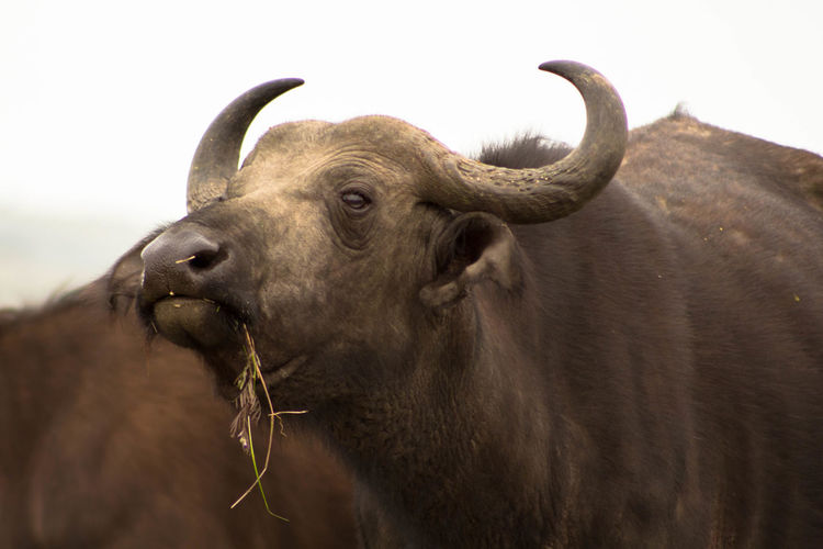 Close-up of buffalo against sky