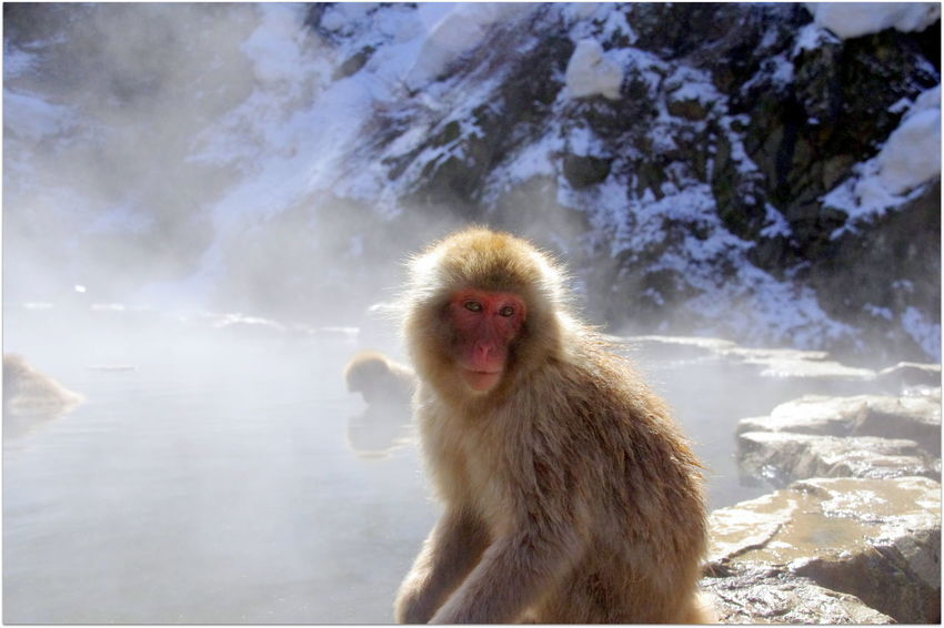 Hot Springs Japan Photography Jigokudani Yaenkoen Park Winter Amazing_captures Beauty In Nature Experiences Hot Spring Japanese Macaque Macaca Fuscata Nagano Nature Nature_collection Outdoors Snow Snow Monkeys Travel Destinations Lost In The Landscape