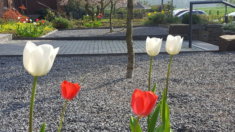 Flower Petal Plant Day Nature No People Outdoors Growth Sunlight Beauty In Nature Fragility Flower Head Freshness Close-up 3XSPUnity Landscape_photography Tulips🌷 Tulips Mariendonk Niederrhein