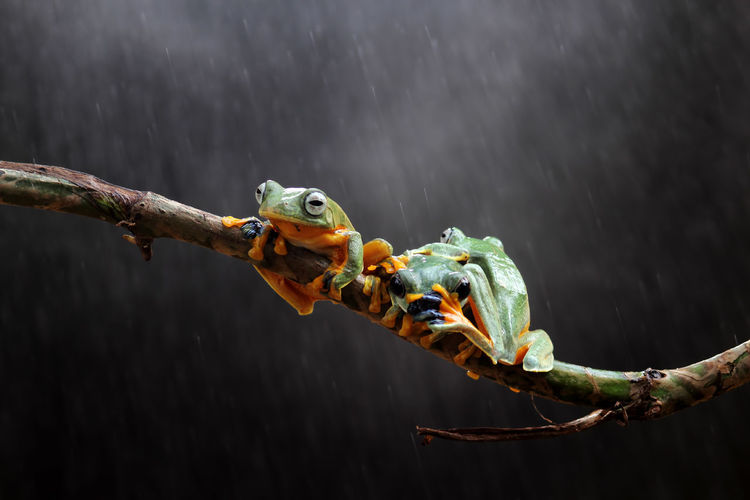 tree frogs on twigs Animal Animal Themes Animal Wildlife Vertebrate Animals In The Wild Branch Nature Focus On Foreground Tree One Animal Close-up No People Outdoors Day Parrot Perching Plant Amphibian Bird