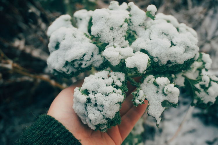 picking snow covered kale Kale Harvest Organic Healthy Eating Healthy Vegetable Winter Harvest Human Hand Snowflake Snow Winter Cold Temperature Tree Holding Close-up Frost Weather Condition