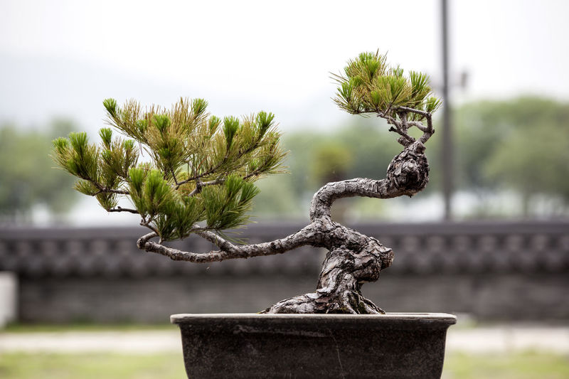 Bonsai tree against sky