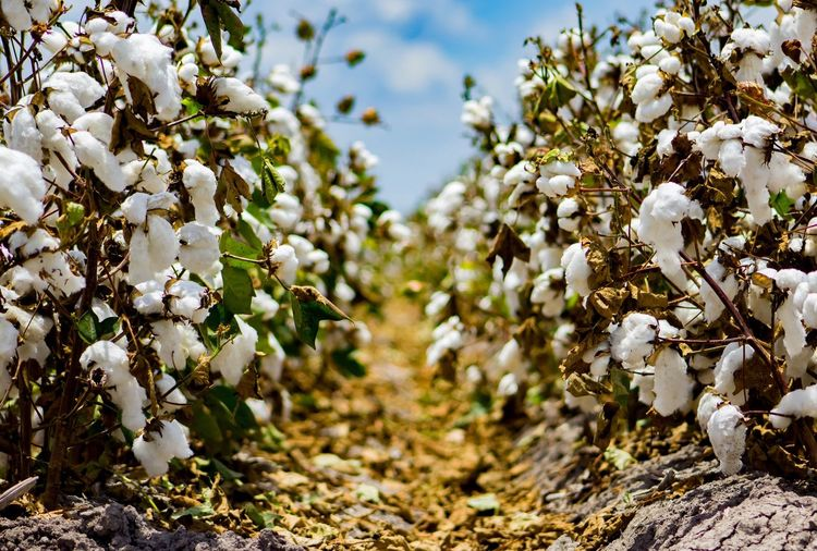 Growth Nature Beauty In Nature Field No People Day Outdoors Close-up Plant Rgv Canonrebelt5 Canonphotography Beautiful Enjoying Life Photographylovers Photojournalism Photographyislifee EyeEmNewHere (null)Enjoying The Moment Inthemoment (null)Cotton Cottonfields Low Angle View