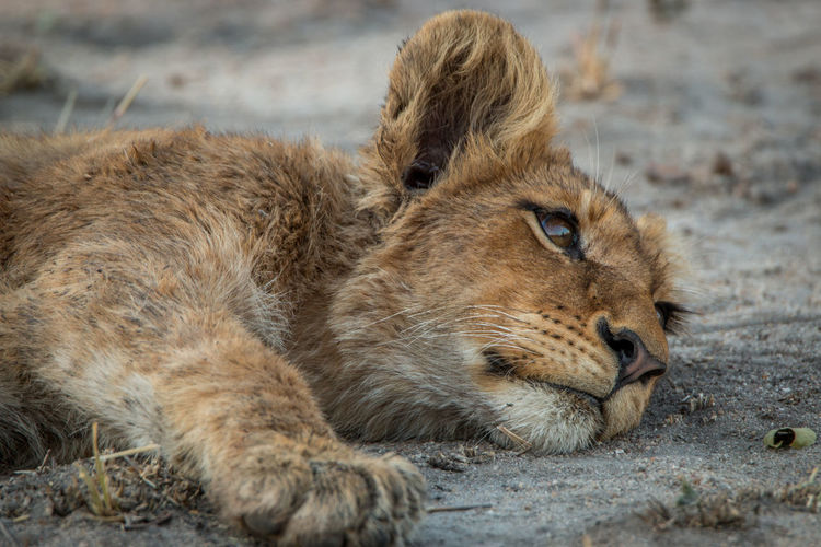Close-up of lion cub relaxing outdoors