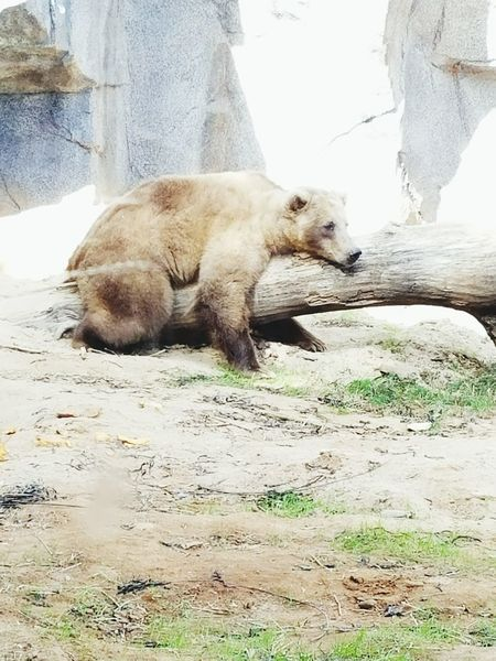 Bear Mammal Outdoors Lazy Lazy Day Wildlife Wildlife & Nature Zoo Zoo Animals  Zooanimals Zoo Photography  Sleepy Sleeping Nap The Great Outdoors - 2017 EyeEm Awards