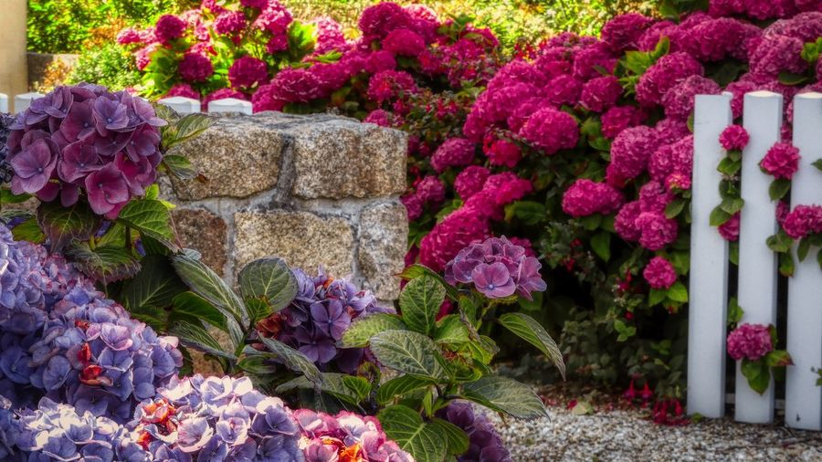 50 shades of Pink Flower Flowering Plant Pink Color Ornamental Garden Multi Colored Springtime Hortensia Flower Stone Wall Purple
