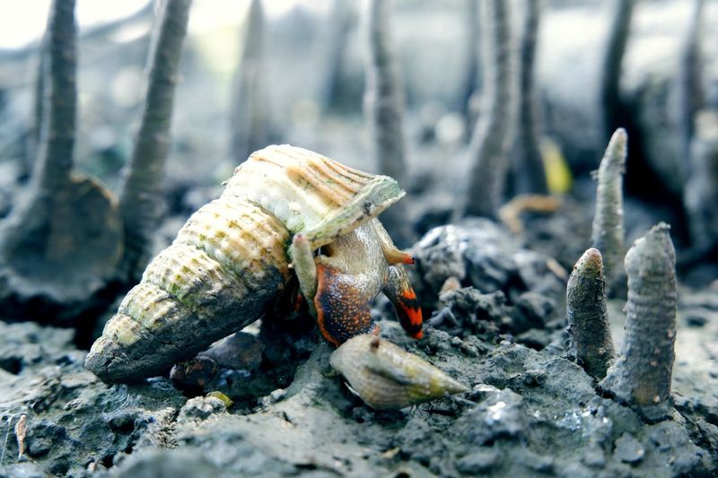 Close-up of shells crawling on the ground at the mangrove forest.