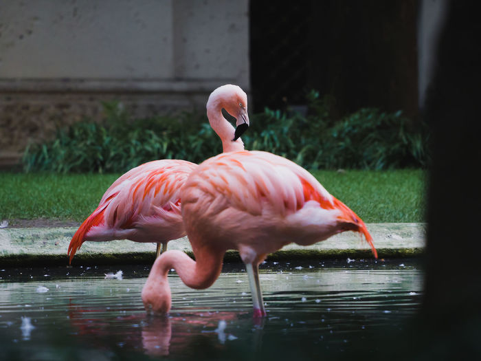 Yes! They are in Milan... Behind the majestic Villa Invernizzi's fence, situated in Milan, Italy, there is a garden with a group of beautiful pink flamingos Milano Nature Pink Stories From The City Bestpicever  Flamingos Instagram Lovethiscreatures Natureinthecity Photography