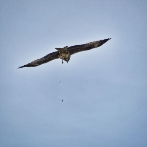 Eagle does a crap / Орёл какает Taking Photos Check This Out HDR Perm Snapseed Apple Russia Dslrphotography DSLR Eagle Eagles Crap орел Nikon Nikonphotography Nikon D5100  D5100 NikonD5100 зеркалка фото фотоаппарат Nature Bird Birds Nature Photography