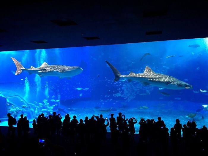 Okinawa Churaumi Aquarium Japan Whale Shark Huge Water Tank Impression The 2nd Time