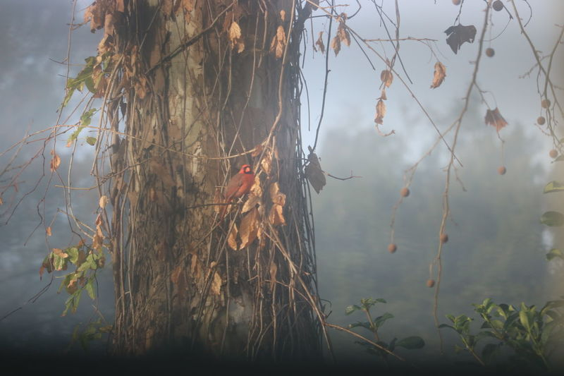 Foggy Morning Red Bird On A Tree Nature Branch Tree Beauty In Nature Day Outdoors No People Sun Through Fog Foggy Red Bird Sunny Morning Nature Red Wood