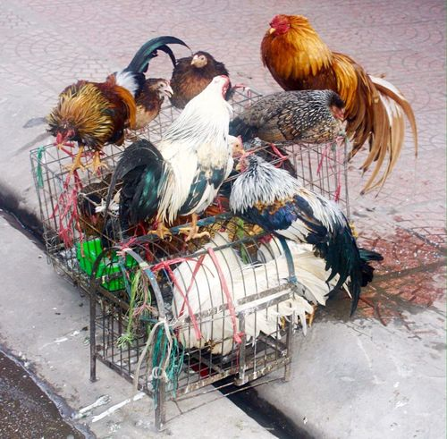 Fowl Chickens Roosters Caged Freedom Vietnam