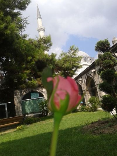Hi World! Green Green Green!  Relaxing First Eyeem Photo Pink Rose Flower Mosque Istanbuldayasam Süleymaniye Mosque Istanbullovers