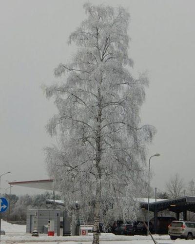 Ziema Winter Sniegs Snow Sarma Koks Tree Riga Riga Latvijasskati Latvijasdaba Latvija Latvia Baltictrend Naturephotography Fotofanatics_nature_ Fotocatchers Global_ladies Nature Daba