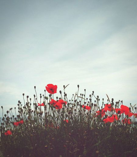 Low angle view of red poppies blooming in field