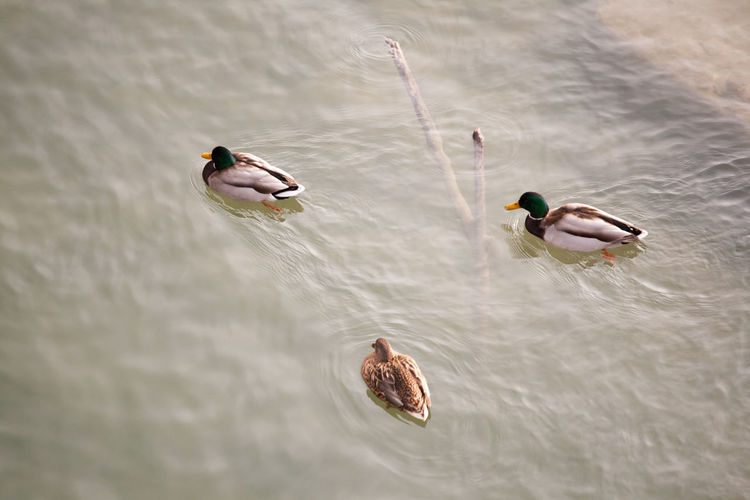 Ducks in the river Animal Themes Animals In The Wild Beauty In Nature Bird Birds Birds_collection Day Duck Ducks EyeEm Best Shots From Above  High Angle View Lake Nature No People Outdoors Reflection Rippled River Riverside Swimming Water Waterfront Wildlife Zoology