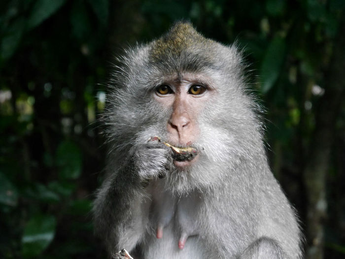 Portrait Of Monkey Eating Food