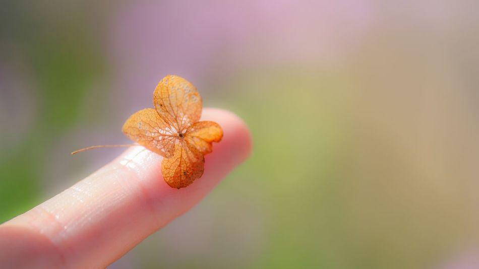 Macro_flower Hydrangea Dry Flower  Fingers EyeEm Nature Lover Macro Nature Fall Colors Fall