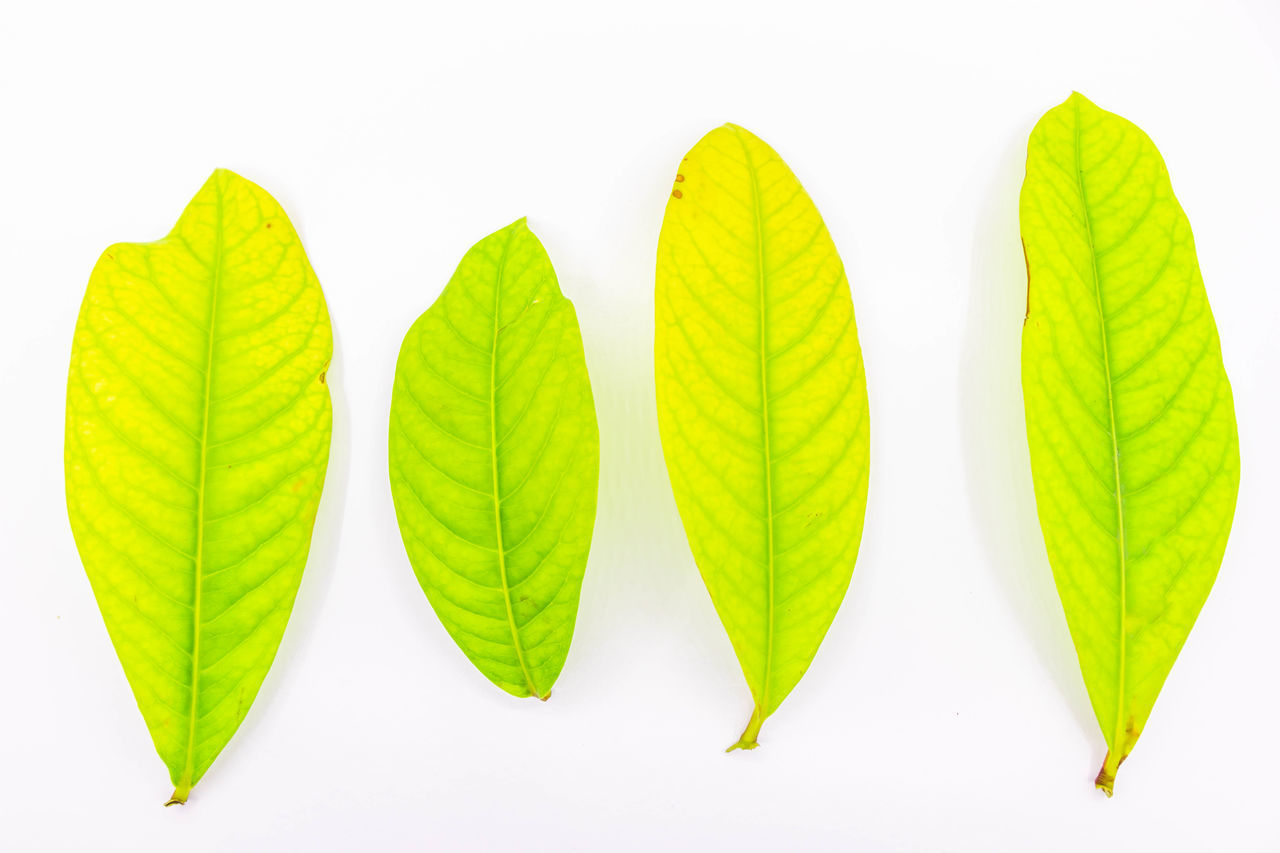 white background, studio shot, plant part, leaf, green color, cut out, close-up, group of objects, no people, plant, indoors, nature, freshness, beginnings, yellow, multi colored, group, high angle view, white color, beauty in nature