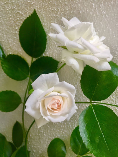 Background For Quotes Beauty In Nature Blooming Celebration Close-up Day Flower Flower Head Fragility Freshness Growth Happy Birtday No People Outdoors Petal Rose - Flower Two Roses Wedding White Color White Roses