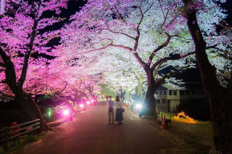 桜 Cherry